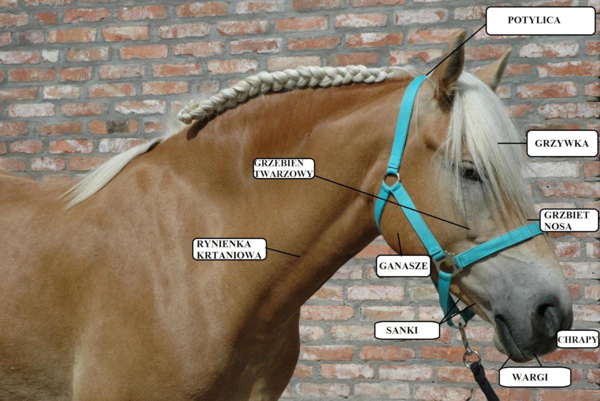 łeb konia