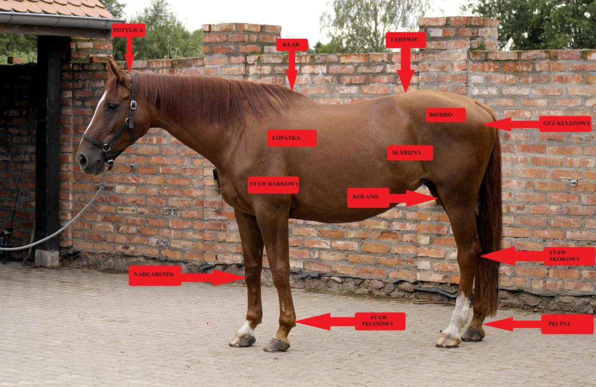 budowa konia opis