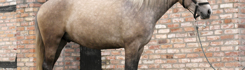 budowa konia