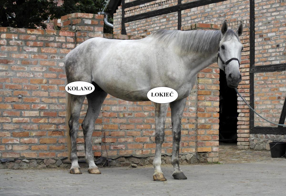 kolano i łokieć u konia